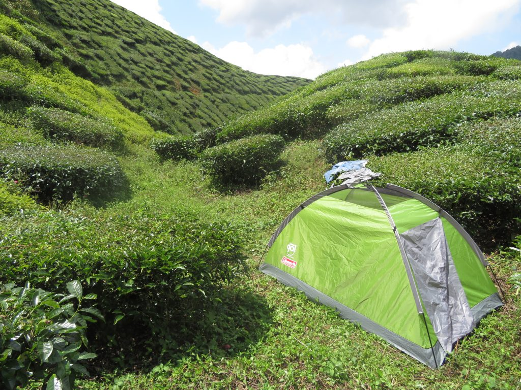Setting our tent in a tea field