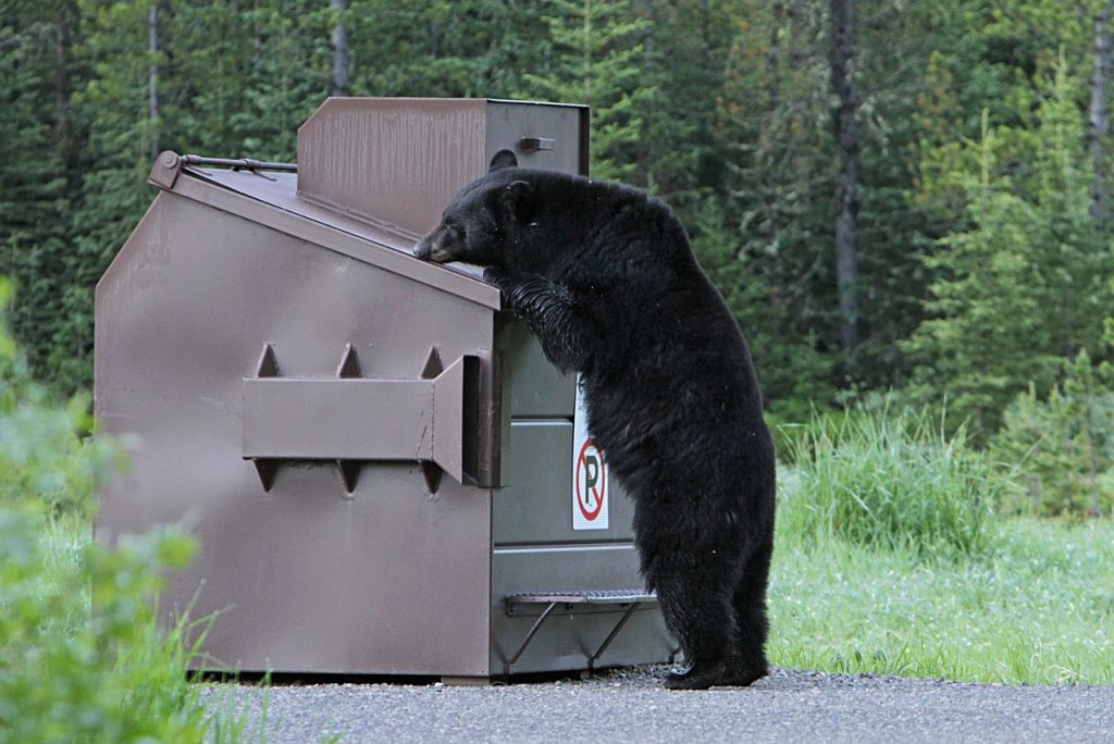Bear doing dumpster diving