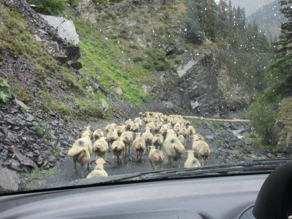Sheep on the road to the Tusheti National Park